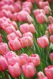 Ett hav av rosa tulpan i solskenet på en vårdag Royaltyfria Bilder