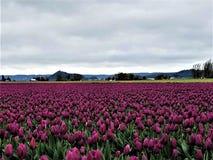 Ett hav av tulpan för kungliga lilor fotografering för bildbyråer