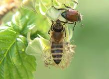 Ett helt europeiskt honungbi, apismellifera, pollinerade blom av hallonet Aktie med någon beatle arkivbilder