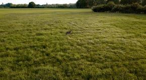 Ett hjortanseende i mitt av ett grönt fält arkivfoto
