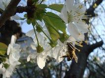 Ett honungbi p? ett Cherry royaltyfri foto