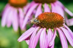 Ett honungbi som pollinerar den purpurfärgade Echinaceablomman Closeupen tävlar Royaltyfri Fotografi