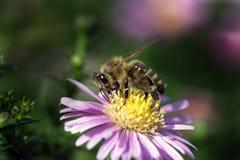 Ett honungbi som pollinerar en violett blomma arkivbild