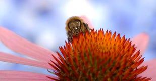 Ett honungbi som samlar nektar från blomman Royaltyfria Bilder