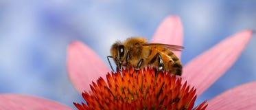 Ett honungbi som samlar nektar från blomman Royaltyfri Bild