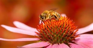 Ett honungbi som samlar nektar från blomman Arkivfoto