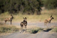 Ett horisontal, färgbild av tre afrikanska lösa hundkapplöpning, Lycaon pi Royaltyfria Bilder