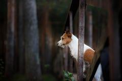 Ett hundanseende på bron och blickarna framåtriktat stålarrussell terrier arkivfoton