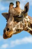 Ett huvudskott av en giraff som smilar med kopieringsutrymme på 3rd April 2018 Arkivfoton