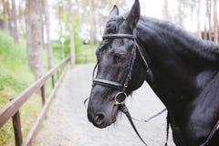 Ett huvudskott av en svart häst close upp royaltyfri foto
