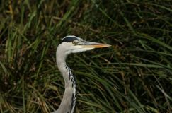 Ett huvudskott av ett härligt Grey Heron Ardea cinerea anseende på banken av en sjö fotografering för bildbyråer