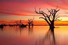 Ett iconic gammalt dött redgumträd i sjön Bonney Barmera södra Aus royaltyfria bilder