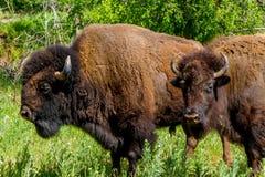 Ett Iconic löst västra symbol - den amerikanska bisonen eller buffel Arkivfoton