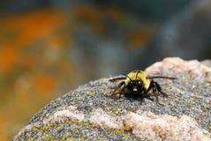 Ett ilsket stapplar biet som stirrar på kameran Arkivfoto