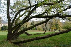 Ett interestingly fullvuxet träd i slotten parkerar Royaltyfri Fotografi