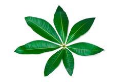 Ett isolerat härligt frodigt grönt blad Fotografering för Bildbyråer
