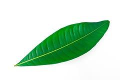 Ett isolerat härligt frodigt grönt blad Royaltyfria Bilder