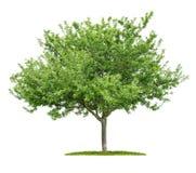 Ett isolerat körsbärsrött träd fotografering för bildbyråer