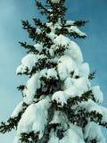 Ett jätte- barrträd som bekläs i snö, står mot en blå himmel Arkivfoton