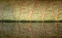 Ett jätte- blad av den Victoria amazonicaen och dess reflexion i ett damm Slapp fokus fotografering för bildbyråer