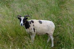 Ett Jacobs får i långt gräs royaltyfria bilder