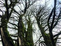 Ett jordperspektiv av ett avlövat lönnträd för breda ut sig som täckas i mossa med många artär som filialer royaltyfria bilder