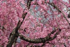 Ett körsbärsrött träd är i blom i en parkera (Japan) arkivfoto