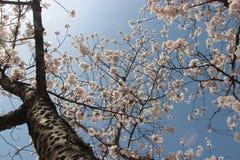 Ett körsbärsrött träd är i blom i en parkera (Japan) Royaltyfri Bild