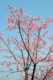 Ett körsbärsrött träd Royaltyfria Foton