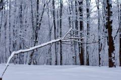 Ett kalt avlövat träd med en intressant form i ett vinterskogsmarklandskap royaltyfria foton