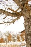 Ett kalt träd med det texturerade skället står i förgrunden av en vinterplats Arkivfoton