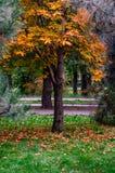 Ett kastanjebrunt träd i höst parkerar Royaltyfri Fotografi