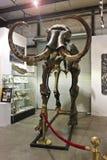 Ett kolossalt skelett på GeoDecor fossil & mineraler Royaltyfria Bilder