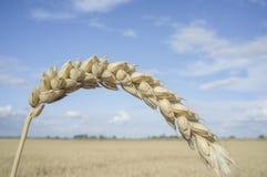 Ett kornöra på vetefältet över blå himmel Arkivfoto
