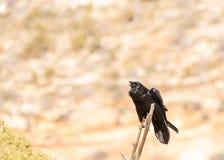 Ett korpsvart som sätta sig på slutet av en död filial, fluffar hans halsfjädrar och vingar i en skärm av kroppsspråket arkivfoto