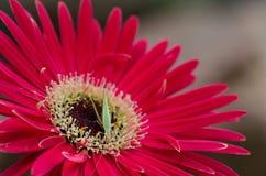 Ett kryp som matar på en röd blomma. Arkivfoto