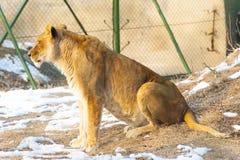 Ett kvinnligt lejon sitter Arkivfoto