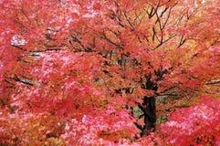 Ett lönnträd med röda sidor i nedgång arkivbilder