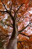 Ett lönnträd under nedgång i Kalifornien Arkivfoto