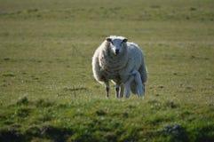 Ett lamm och en moder Royaltyfri Bild