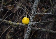 Ett ledset ensamt paradis Apple i den Oktober trädgården Royaltyfri Fotografi