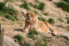 Ett lejon Fotografering för Bildbyråer