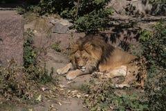 Ett lejon royaltyfri bild