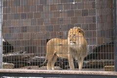 Ett lejon i buren Royaltyfria Bilder