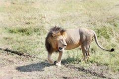 Ett lejon i savannahen av masaien Mara National Park Arkivfoto