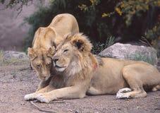 Ett lejon och en lejoninna henne affektion Arkivbilder