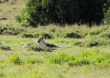 Ett lejon som vilar i grässlätten nära ett vattenhål i Ol pejetanaturvård Royaltyfri Fotografi