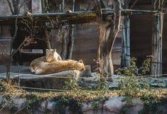 Ett lejonpar som vilar under ett ljust solsken på en solig dag royaltyfri fotografi