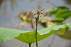 Ett leopardsländaanseende på en lotusblommaflowerbud Arkivfoto