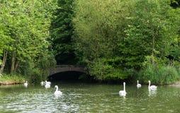 Ett lilla Green River med de härliga vita svanarna Arkivbilder